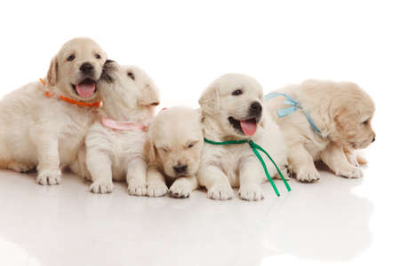 five month old: Five one month old cute puppies of golden retriever Stock Photo