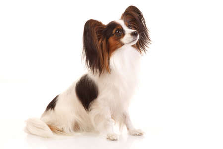 Papillon: Papillon dog sits. isolated on white