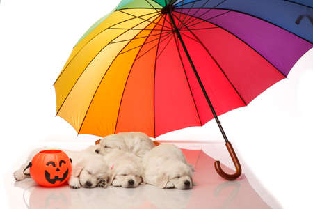 umbrella month: Five one month old puppies of golden retriever sleeping under colorful umbrella,with halloween basket, isolated on white Stock Photo