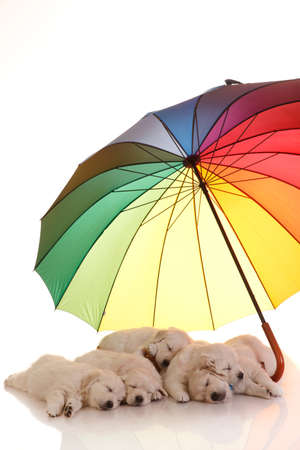 umbrella month: Five one  month old puppies of golden retriever sleeping under colorful umbrella, isolated on white