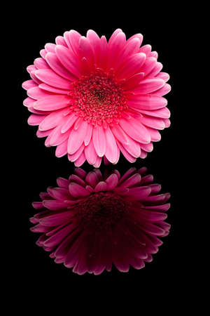 pink gerbera on black background with reflection photo