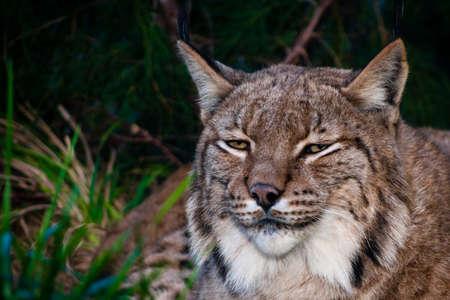 a european lynx dangereous predator outdoos wildcat sitting photo