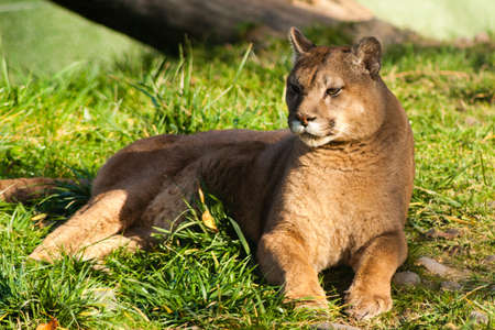 Beautyfull female fierce cougar laying in grass