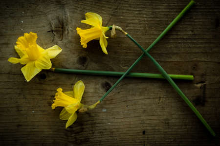 three narcissus flowers on brown wooden table photo