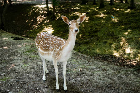 young wild spotted brown deer in forest photo