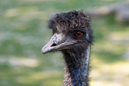 black feathered: close up portrait of wild black feathered ostrich