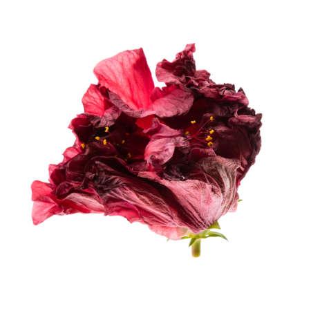 iluminado a contraluz: con luz de fondo natural de la flor roja de cerca
