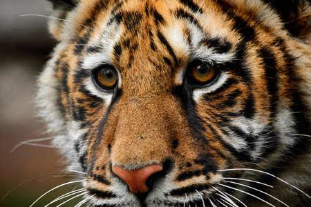 animales safari: Primer plano retrato de una bella gran tigre