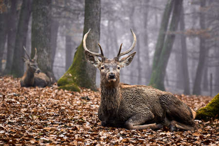 huge antlers: Big buck deer stag resting in autumn forest Stock Photo