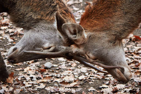 huge antlers: two buck deer stags fighting in autumn forest