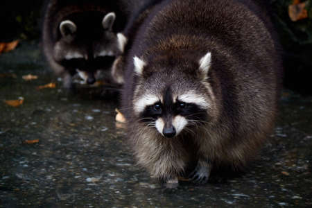 raccoons: cute furry curious small wild raccoon outdoors Stock Photo