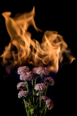 fire flower: chrysanthemum flower on fire with flames on black background