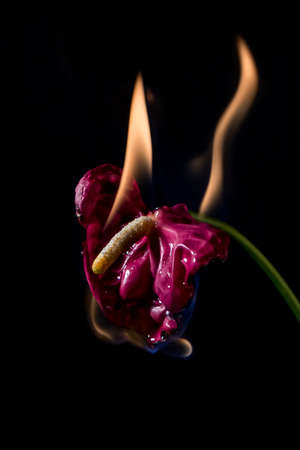 anthurium: anthurium flower on fire with flames on black background