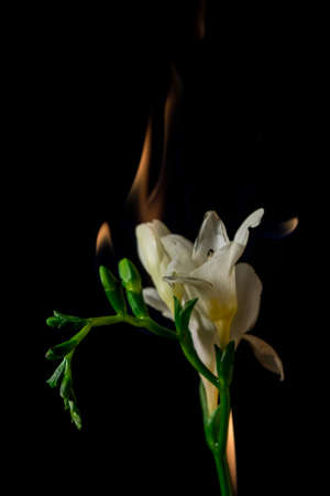freesia: white freesia flower on fire with flames on black background