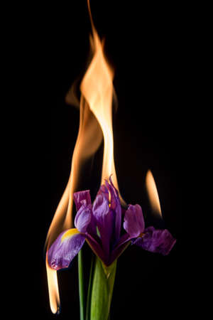 fire flower: iris flower on fire with flames on black background Stock Photo