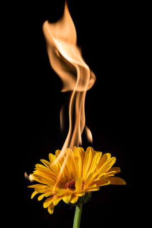 fire flower: yellow gerbera flower on fire with flames on black background
