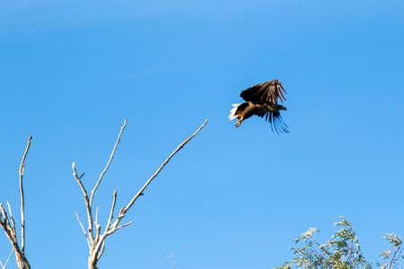 big eagle bird taking off