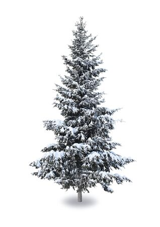 Spruce in the snow on a white background