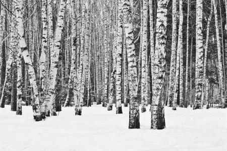 白と黒の冬の白樺の森 写真素材
