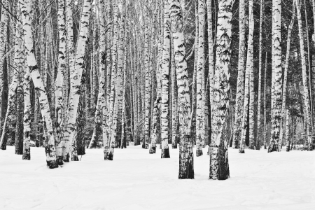 white pole: Birch forest in winter in black and white