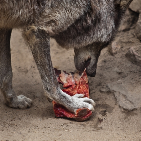 Wolf closeup eating a piece of meat photo