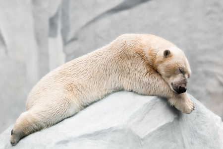 power nap: Sleeping polar bear Stock Photo