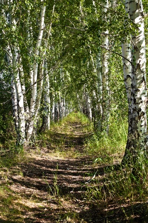 Avenue of birches photo