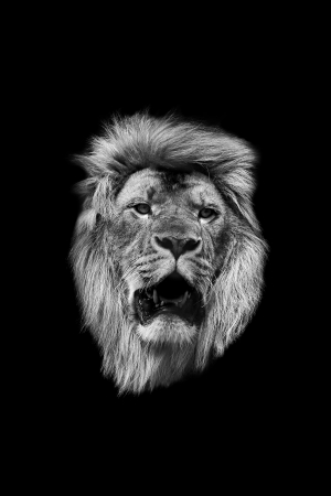 The head of a lion in black and white on a black background Stok Fotoğraf