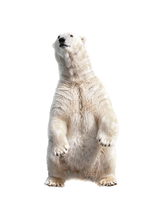 polar bear:  Polar bear on his hind legs isolated on a white