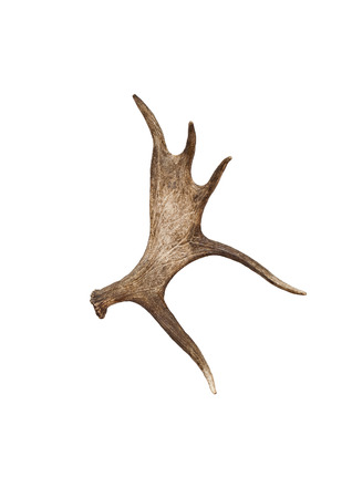 Moose antlers on a white background