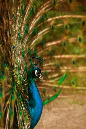 indian peafowl: Peacock closeup