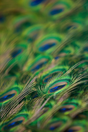 Abstract background of peacock feathers