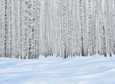 arboleda: Árboles de abedul en la nieve