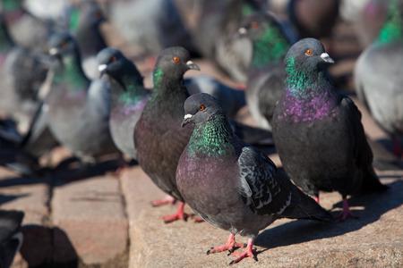 Pigeons closeup