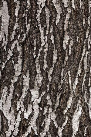 bark peeling from tree: Birch bark in the background