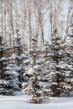 spruce: Snow-covered spruce forest
