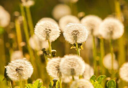 pappus: Dandelions in golden tones Stock Photo