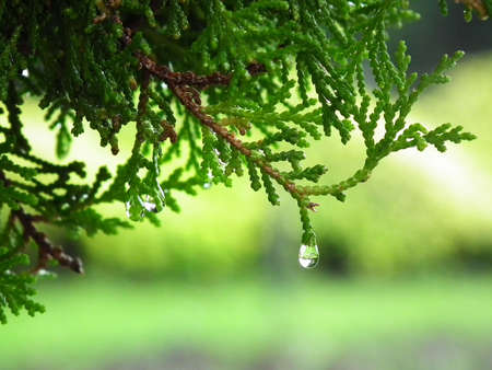 dewdrops: Pine with dewdrops in morning  Stock Photo