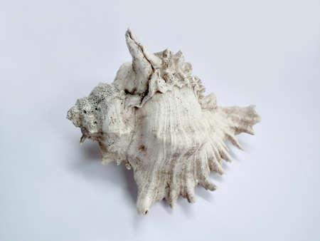 murex shell: Marine Biology Murex Sea Shell