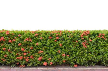 shrub fence isolated on white background photo