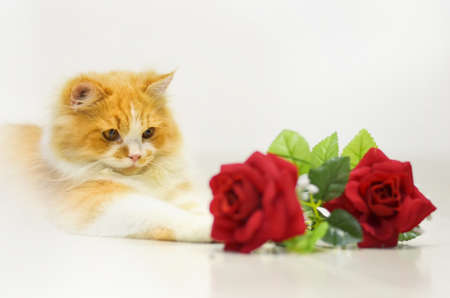 persian cat with red rose on white photo