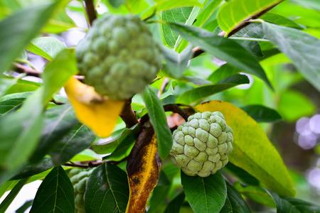 custard apples: Custard Apple on the Tree, Thai Sweet Fruit