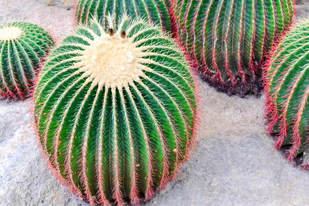 cactus in desert, cactus tropical of botanical Stock Photo