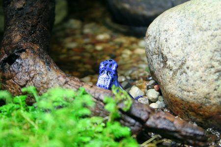 blue frog: Rana azul rechazado