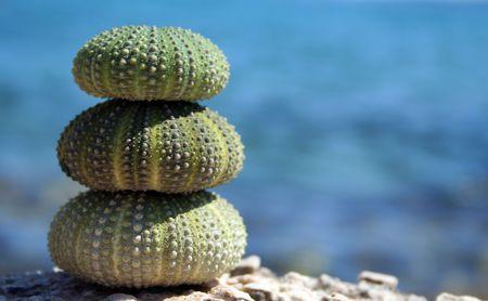breakable: sea urchins caught in Adriatic Sea (Croatia)