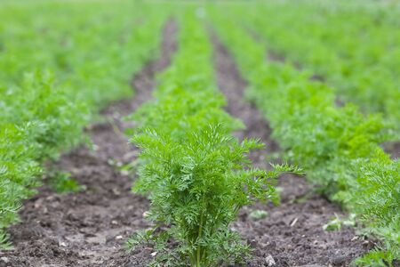healthy ecological plantation of carrot - shallow DOF photo