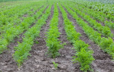 ultra: healthy ecological plantation of carrot - Poland - photo taken by ultra wide lens at 12mm