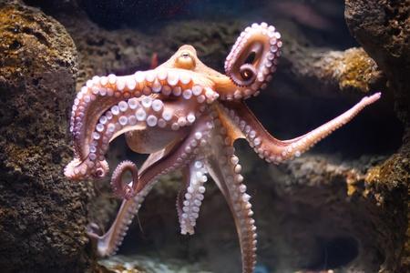 Ethereal Oktopus aus der Tiefe Octopus vulgaris Standard-Bild - 12812321