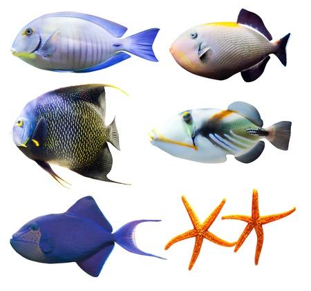 surgeon fish: mundo tropical de la parte de pescado 2 - aisladas sobre fondo blanco