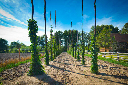 beer production: Hop poles on small field Stock Photo